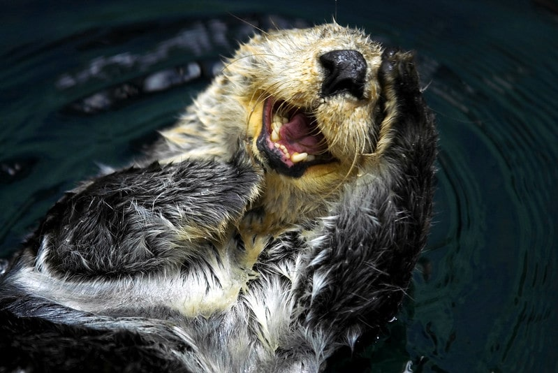 Sea otter lying on its back in the water laughing with its mouth open.