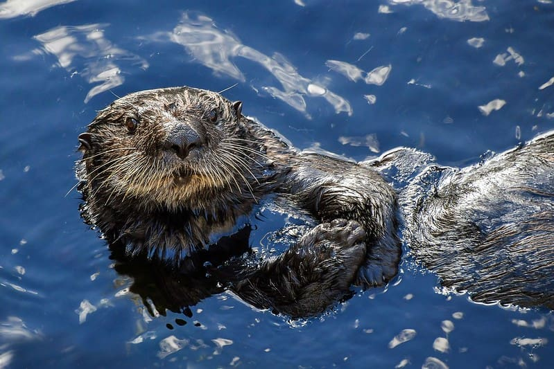 Otter lying on its back in the water looking at camera.