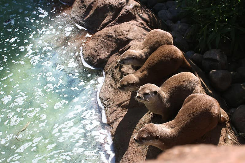 Four otters perched on the rocks next to the water.