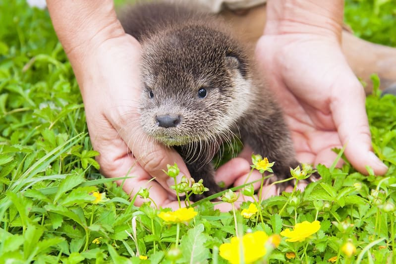 A baby otter in a human's hands on the grass.