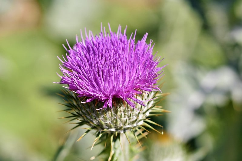 A Scottish thistle.