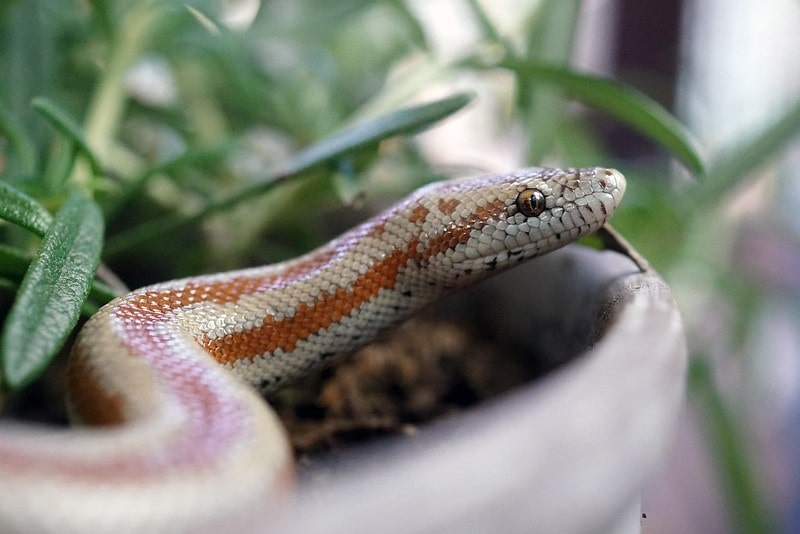 A snake in a plant pot.