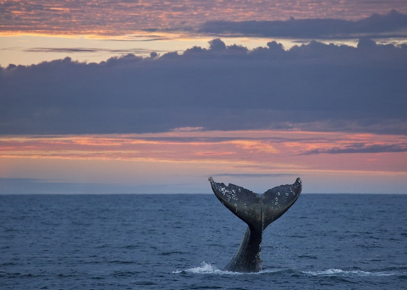 Grey whale tail above the water surface at sunset.