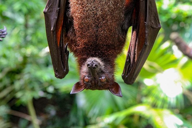 Bat hanging upside down outside amongst the trees.
