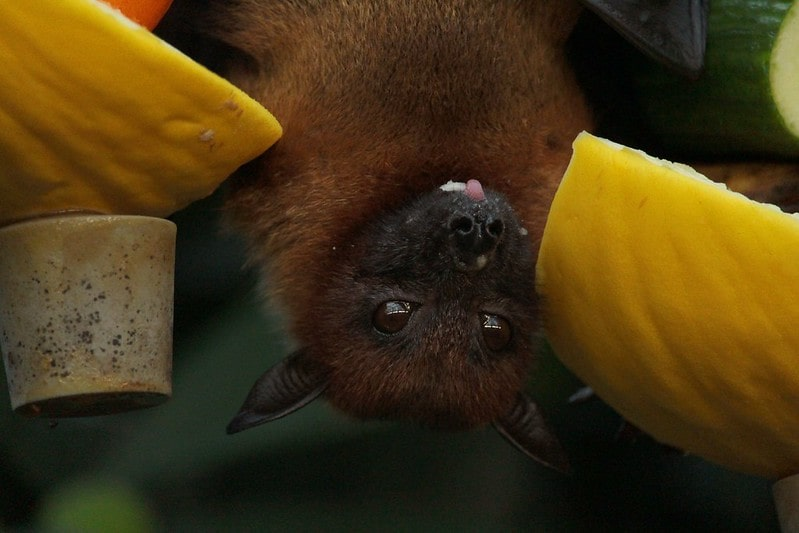 Bat hanging upside down eating a melon.