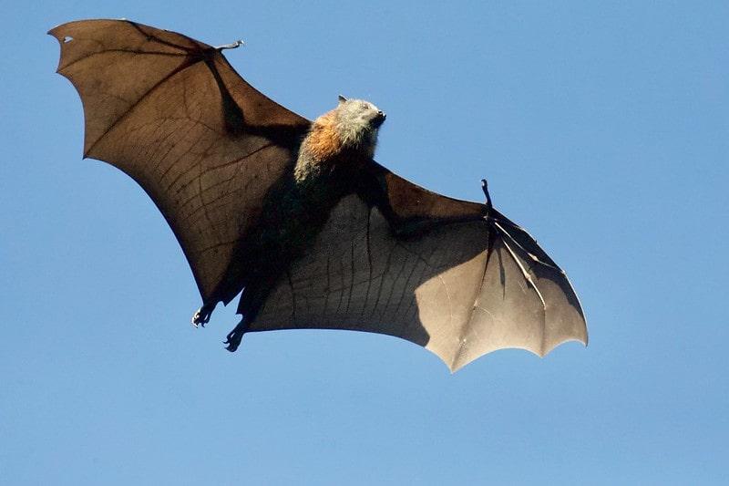 Bat flying in the sky in daylight.