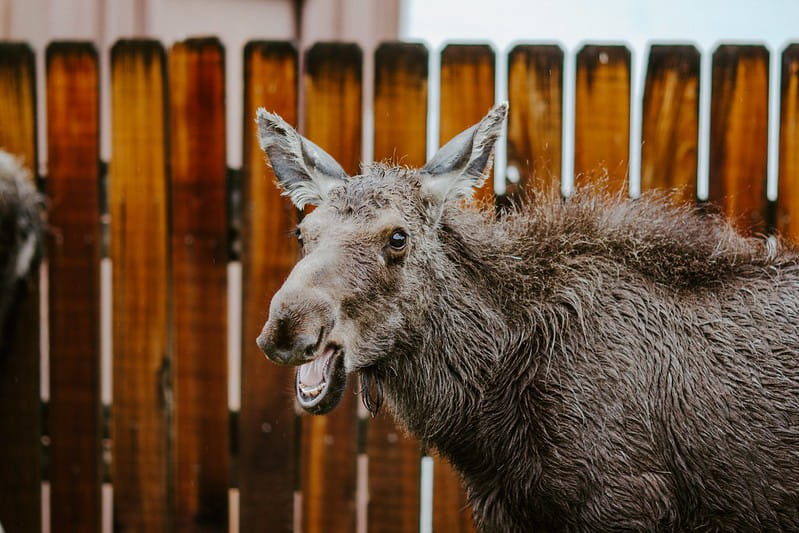 Moose standing by a fence with its mouth open.