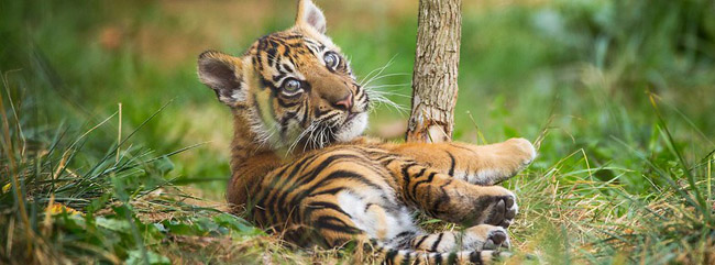 Tiger cub at London zoo.