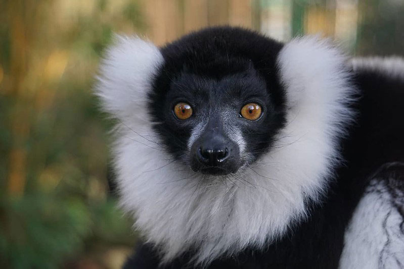 A black and white primate at Paradise Wildlife Park.