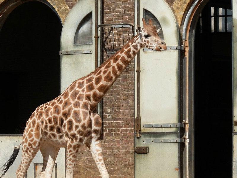 A giraffe roaming at the London Zoo.