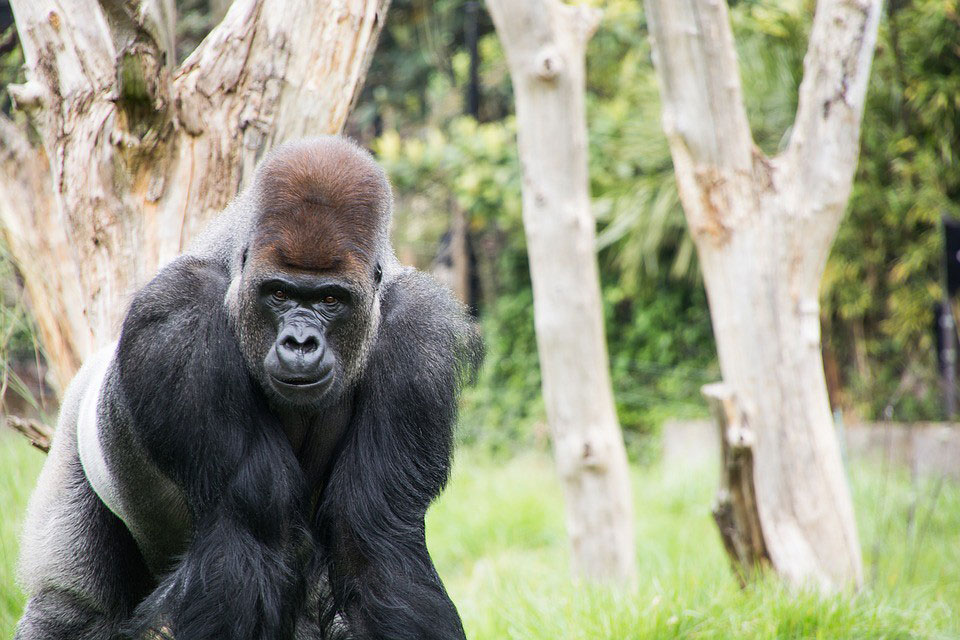A gorilla at the London Zoo.