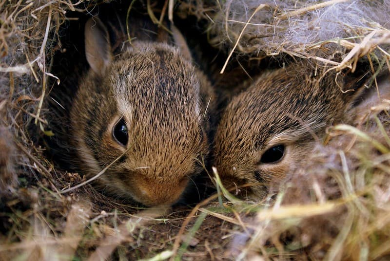Two brown bunnies nestled together in a burrow.