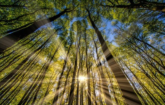 Sun shining through the trees in the forest.