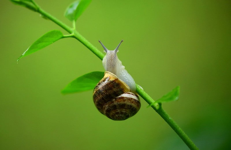 A snail with a big shell sitting on the branch of a plant.