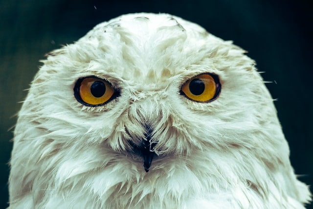 Close up of a white snowy owl with orange eyes, just like Hedwig from Harry Potter.