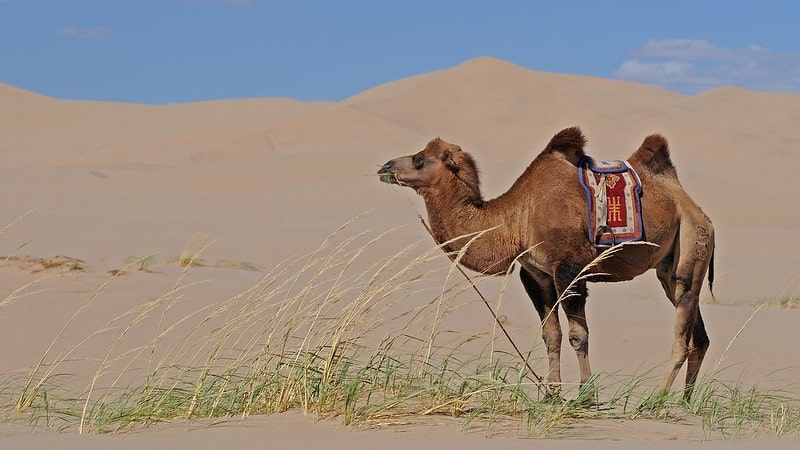 Camel standing in the desert with some grass in its mouth and a saddle on its back.