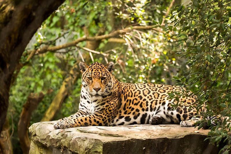 Majestic jaguar sitting on a large stone in the rainforest in Nicaragua.