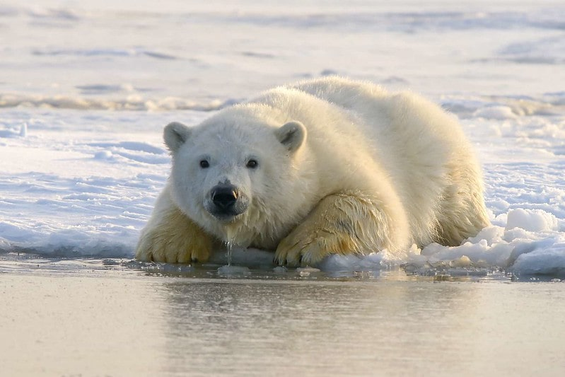 Polar bear sitting on the edge of the ice, its nose and paws wet from dipping into the sea.