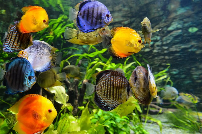 Colourful yellow, orange and purple fish swimming underwater.