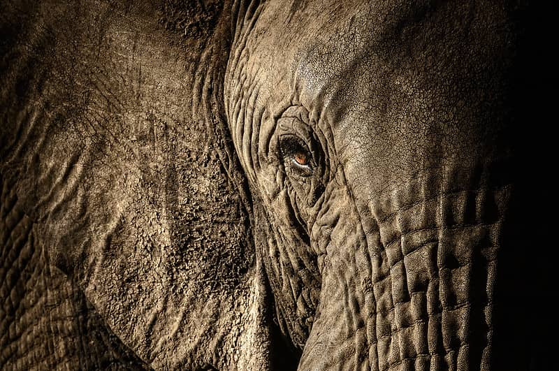 Close up of African elephant in the wild, its orange eye open and small.