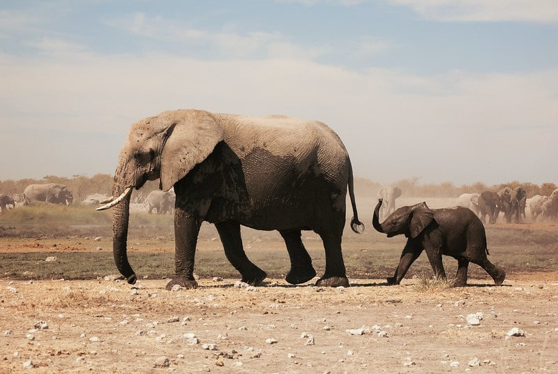 Parent and child African elephants walking through the desert.
