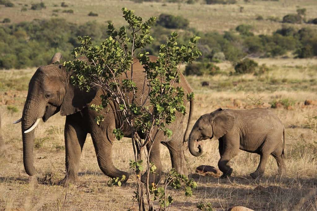 Mum and baby African elephants walking next to a tree in the wild.