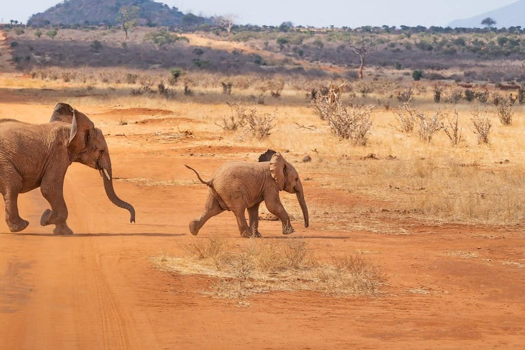 Adult and baby African elephants running in the savannah on safari.