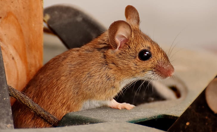 A brown wood mouse with wide black eyes.