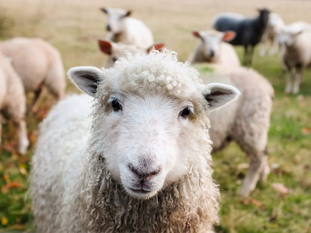 A sweet-looking sheep standing with the rest of its flock on a farm.