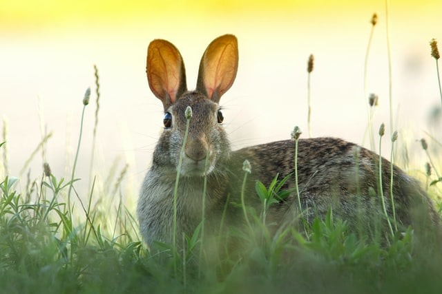 A rabbit sat in the grass among some wild flowers looking straight on.