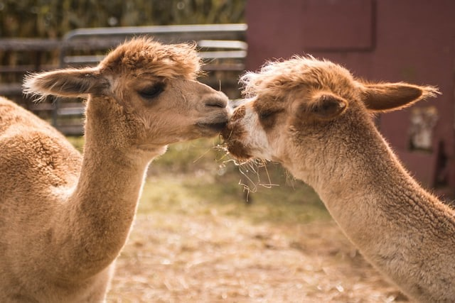 Two llamas at Lakeland Maze Farm Park affectionately resting their heads together.
