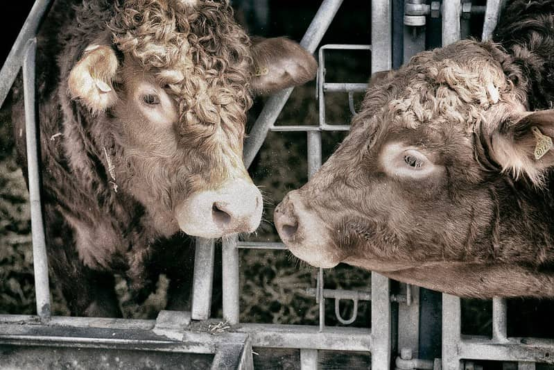 Two brow cows with curly hair at Hasty's Adventure Farm.