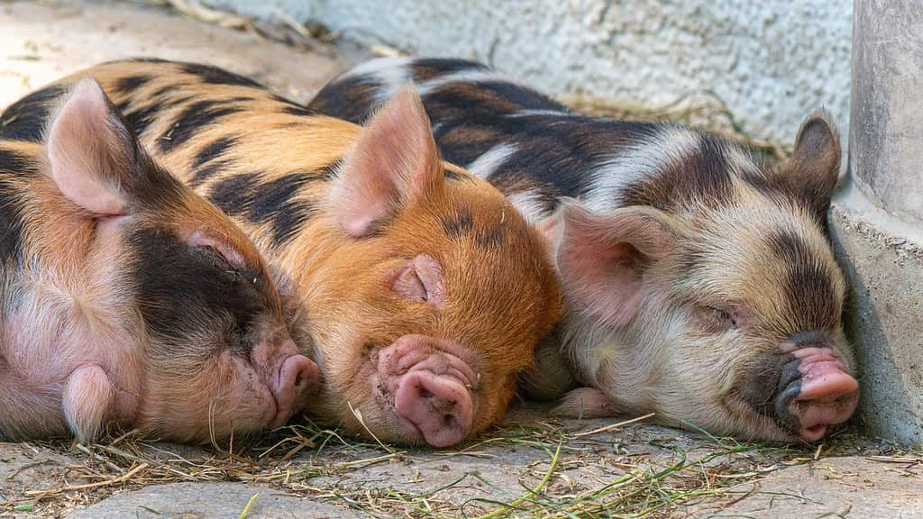 Three spotty pigs lying on the ground sleeping next to each other.