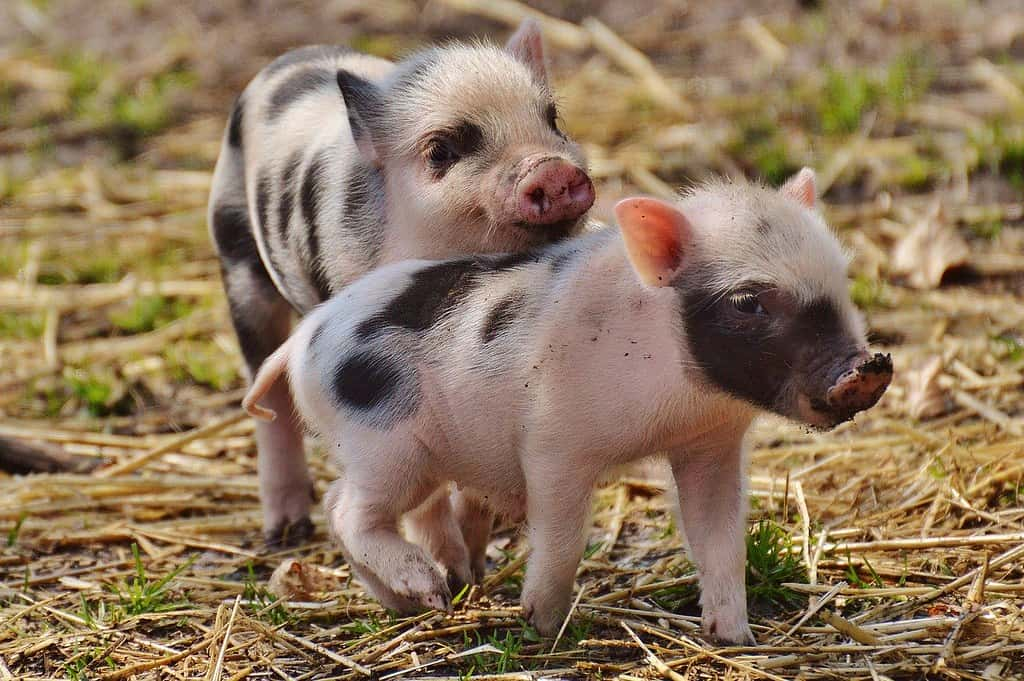 Two piglets on a farm playing with each other.