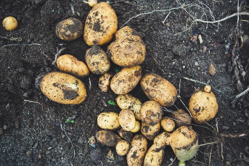 Potatoes in the ground covered with soil.