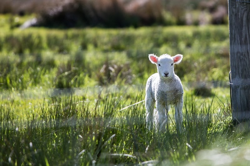 Lamb standing in the grass at Little Fant Farm, Maidstone.