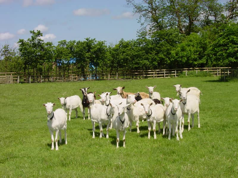Herd of goats grazing on the grass on a sunny day.