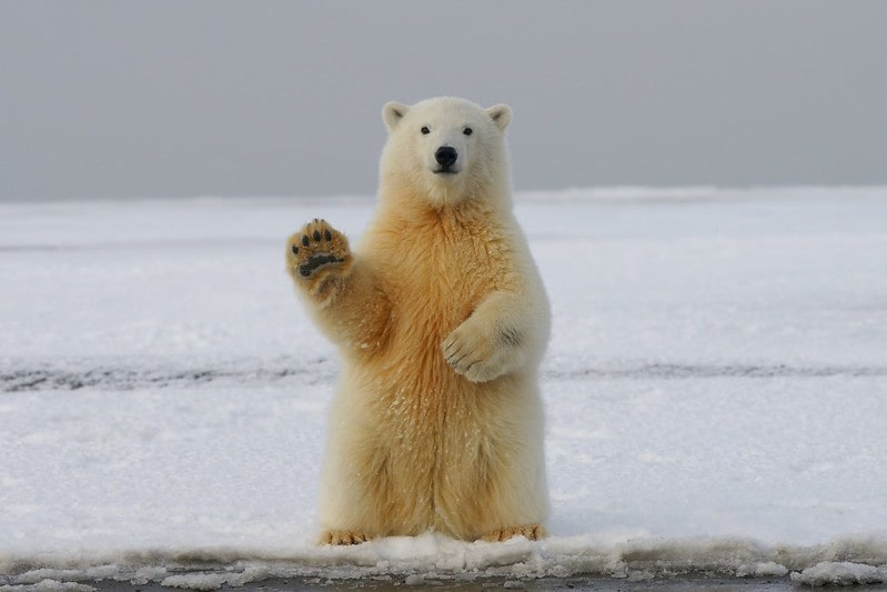 A polar bear standing upright on the ice holding its paw up as if it's waving.