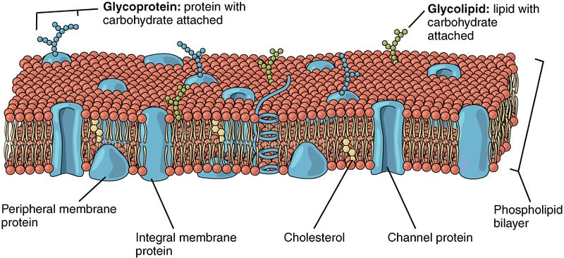 A cross-section diagram of a eukaryotic cell membrane.