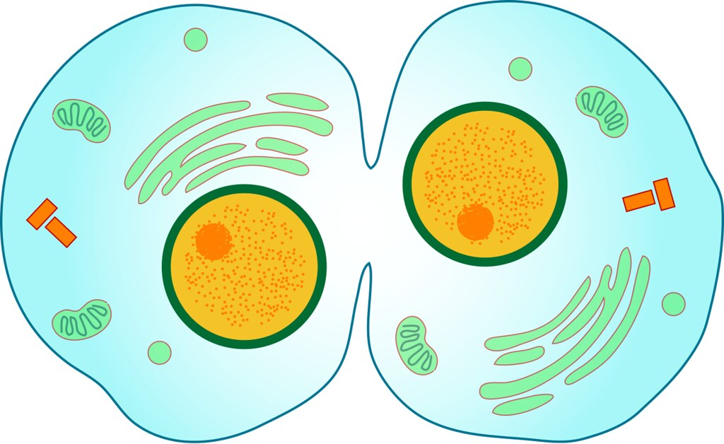 A diagram of cells undergoing cytokinesis.