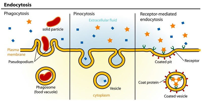 A diagram of three different types of endocytosis.