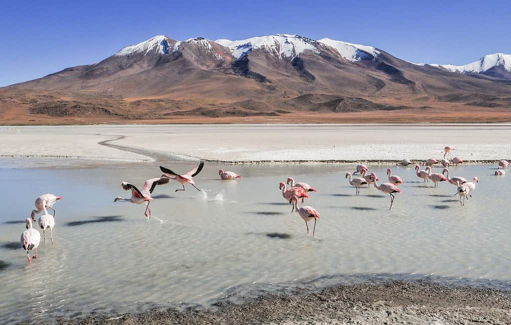 Flamingoes settled in the water in a lagoon among the mountains in Bolivia.
