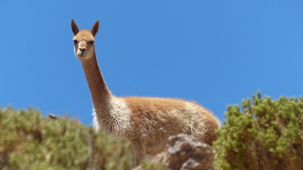 A light brown llama out in the wild nature in Bolivia.