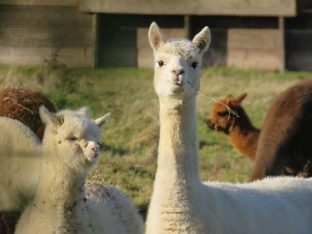 A white alpaca with a twig in its mouth in the foreground and other alpacas grazing behind.