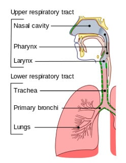 Annotated diagram of the respiratory tract.