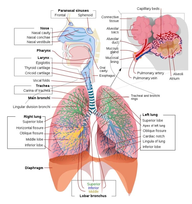 Annotated diagram of the respiratory system.