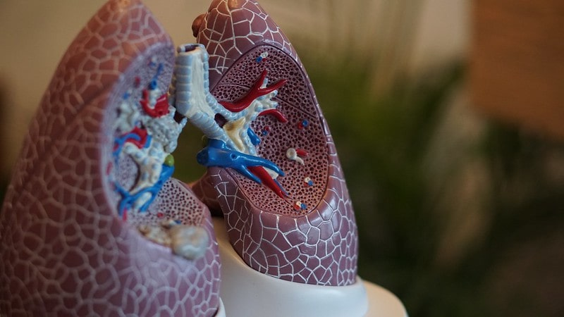 A model of the human respiratory system showing inside the lungs.