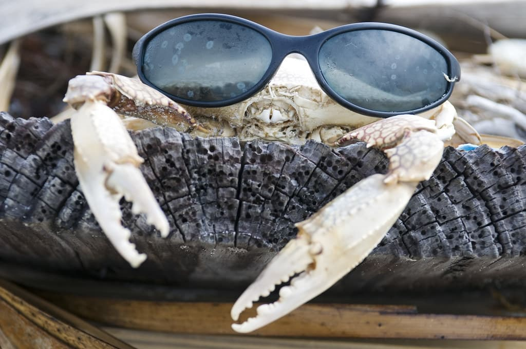 White crab with a person's sunglasses placed on its face.
