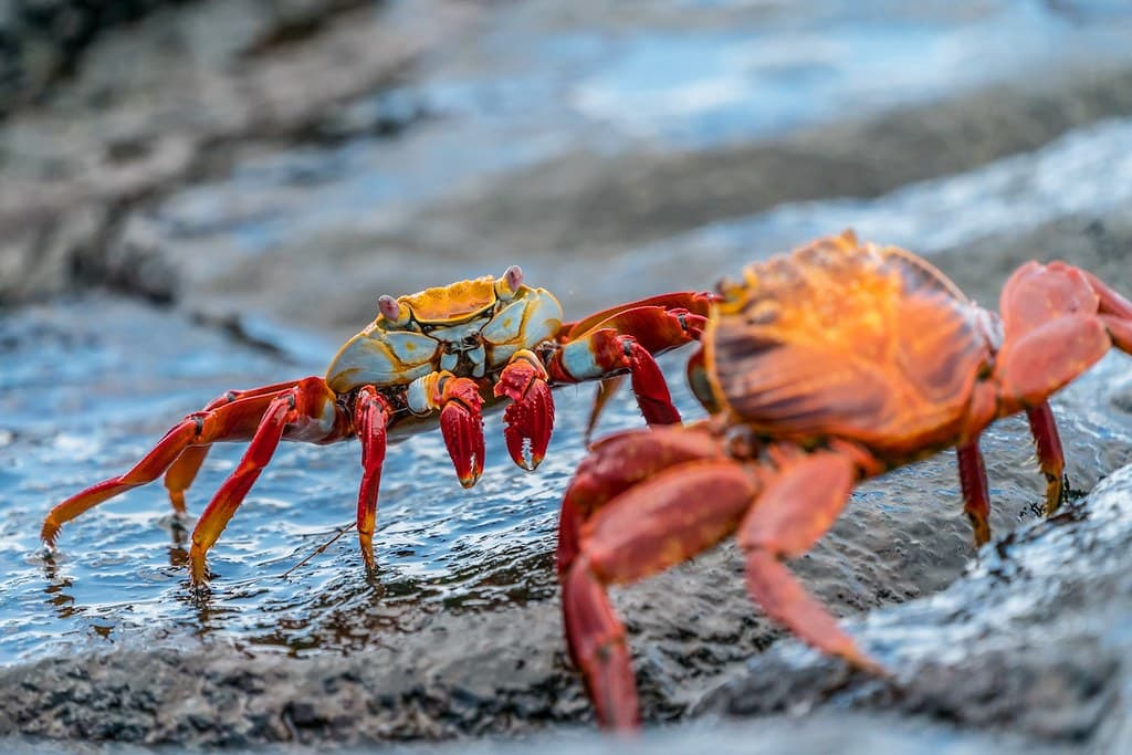 Two crabs standing on some rocks looking at each other.
