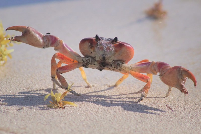 Red crab walking along the beach in the sand.